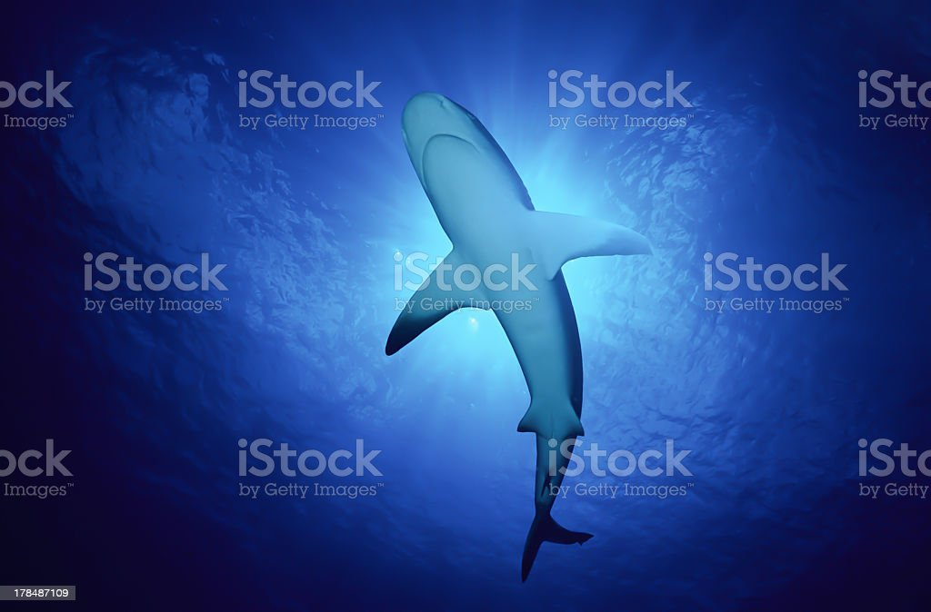 Caribbean reef shark swimming in the ocean stock photo