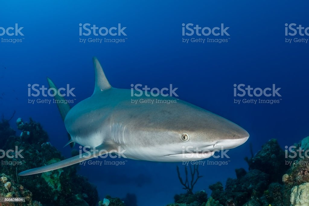 Caribbean reef shark swims over a coral reef stock photo