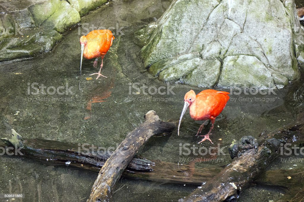 Caribbean Scarlet ibis stock photo