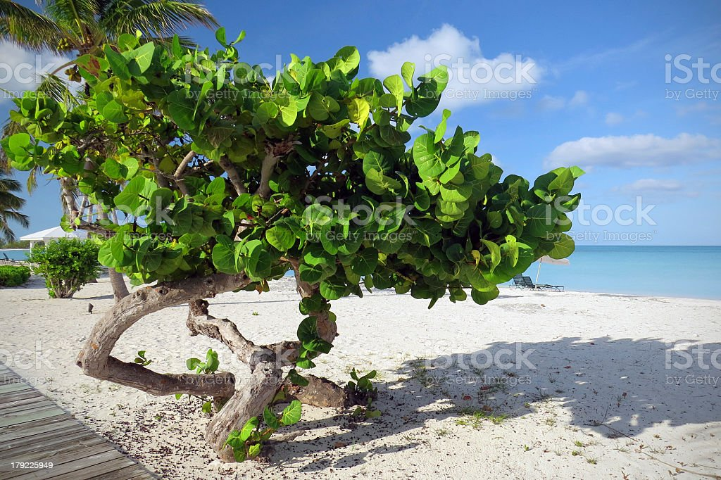Caribbean Sea Grapes stock photo
