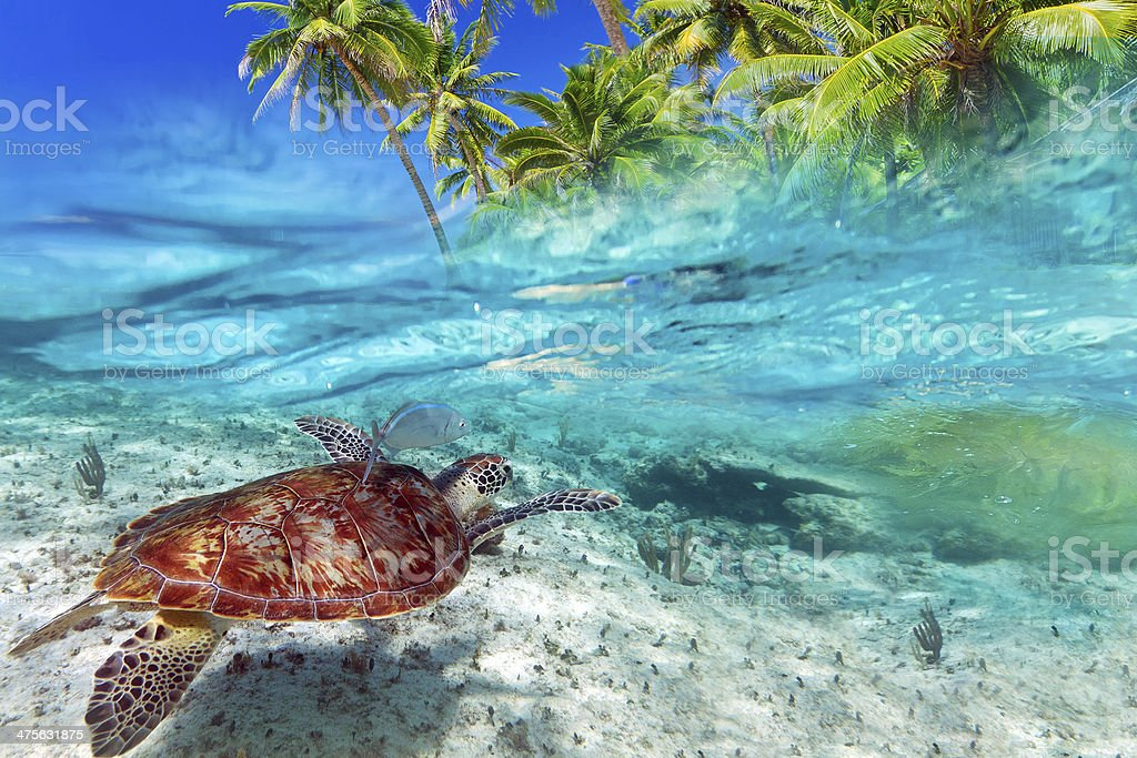 Caribbean Sea scenery with green turtle stock photo