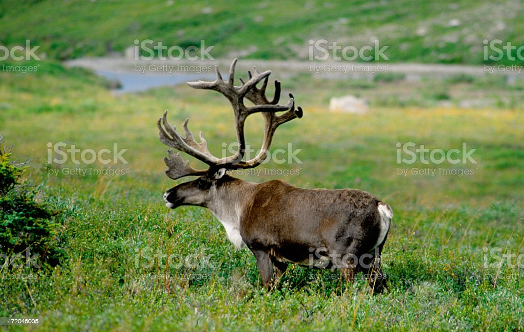 Caribou Bull in Denali National Park, Alaska. stock photo