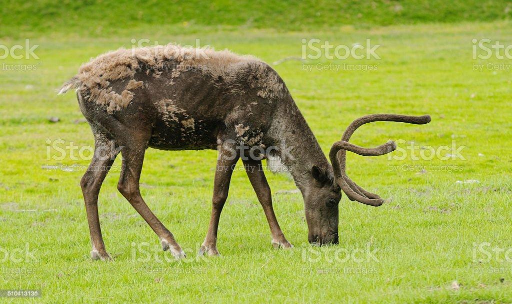 caribou feeding stock photo