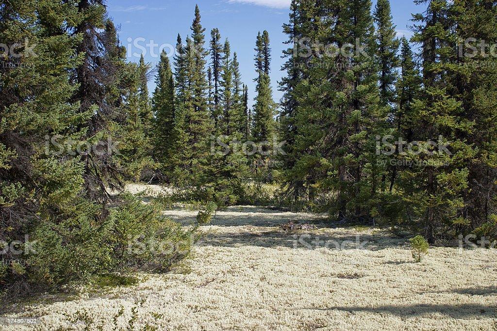 Caribou Moss/Reindeer Lichen, Labrador stock photo