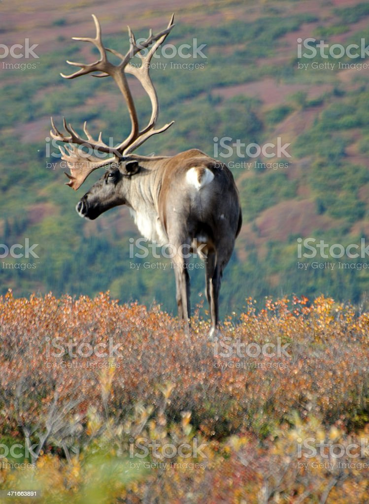 Caribou on Hill stock photo