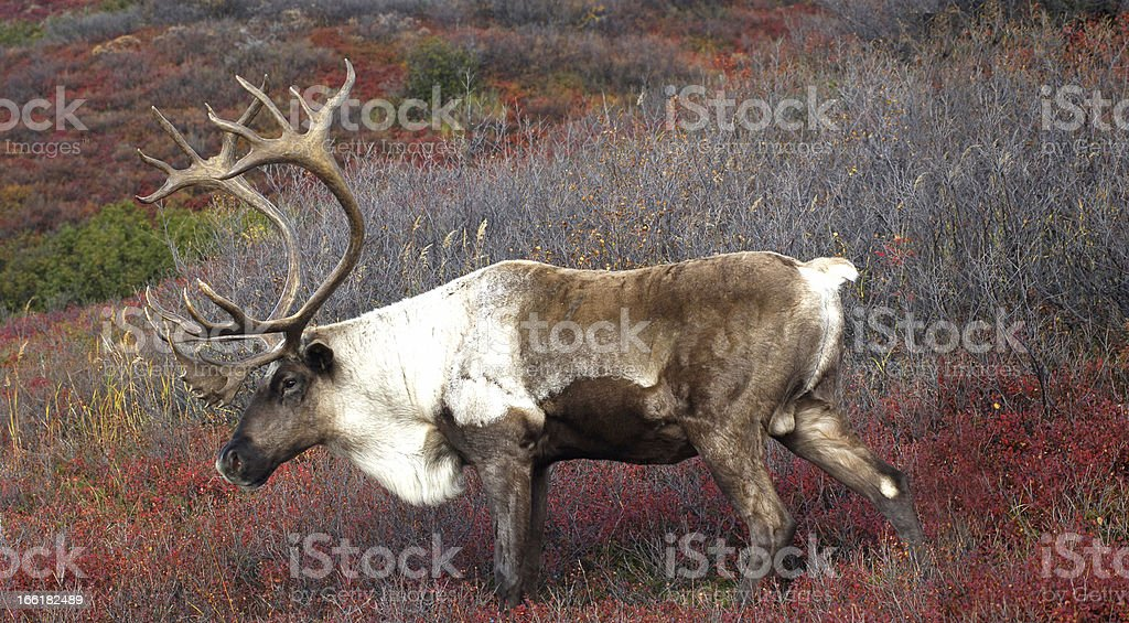 Caribou on red Fall tundra royalty-free stock photo