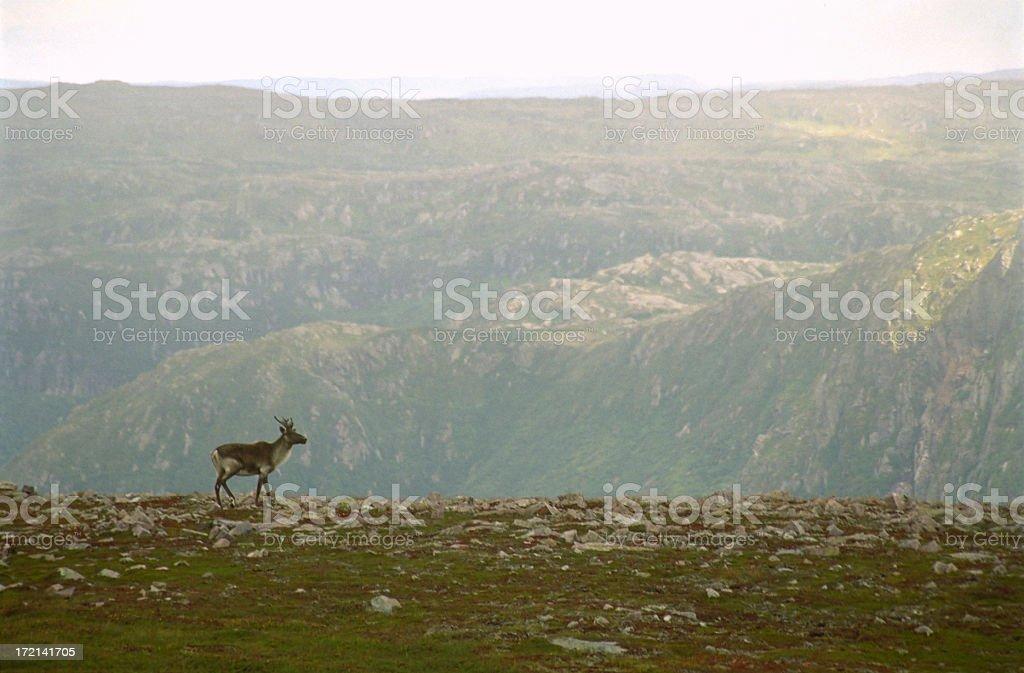 Caribou on Ridge stock photo