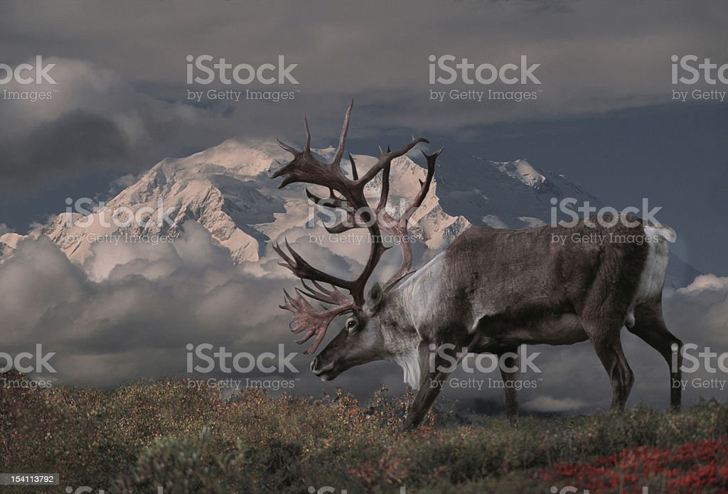 Caribou stock photo