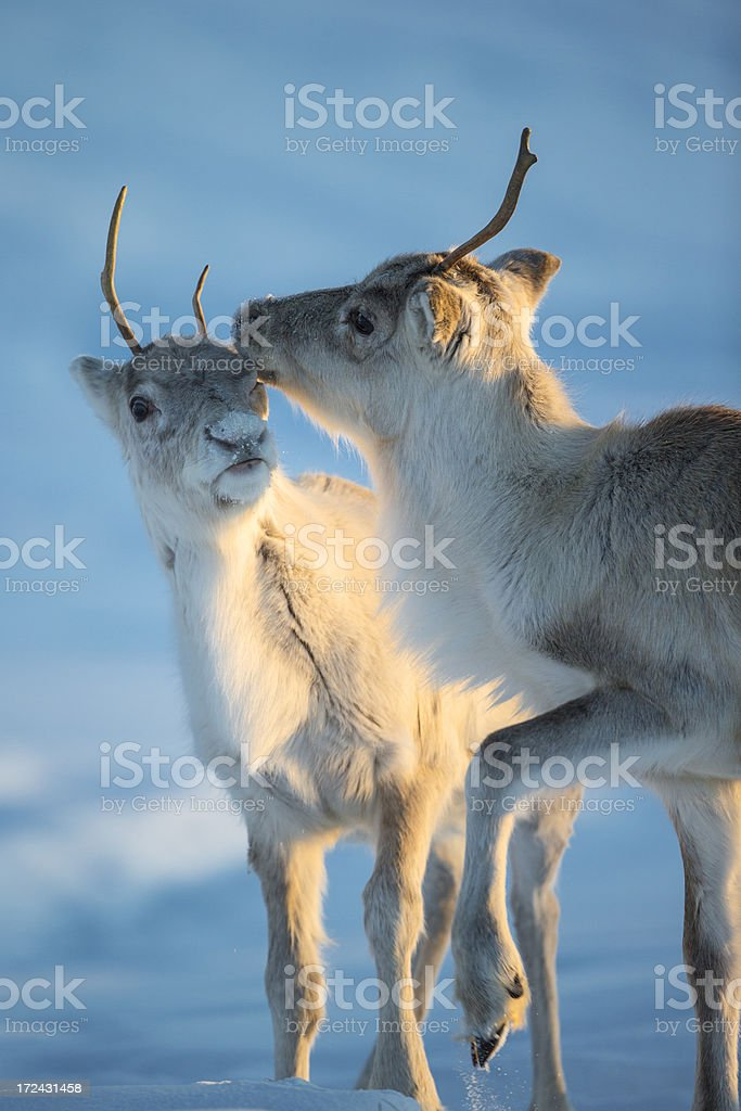 Caribou royalty-free stock photo