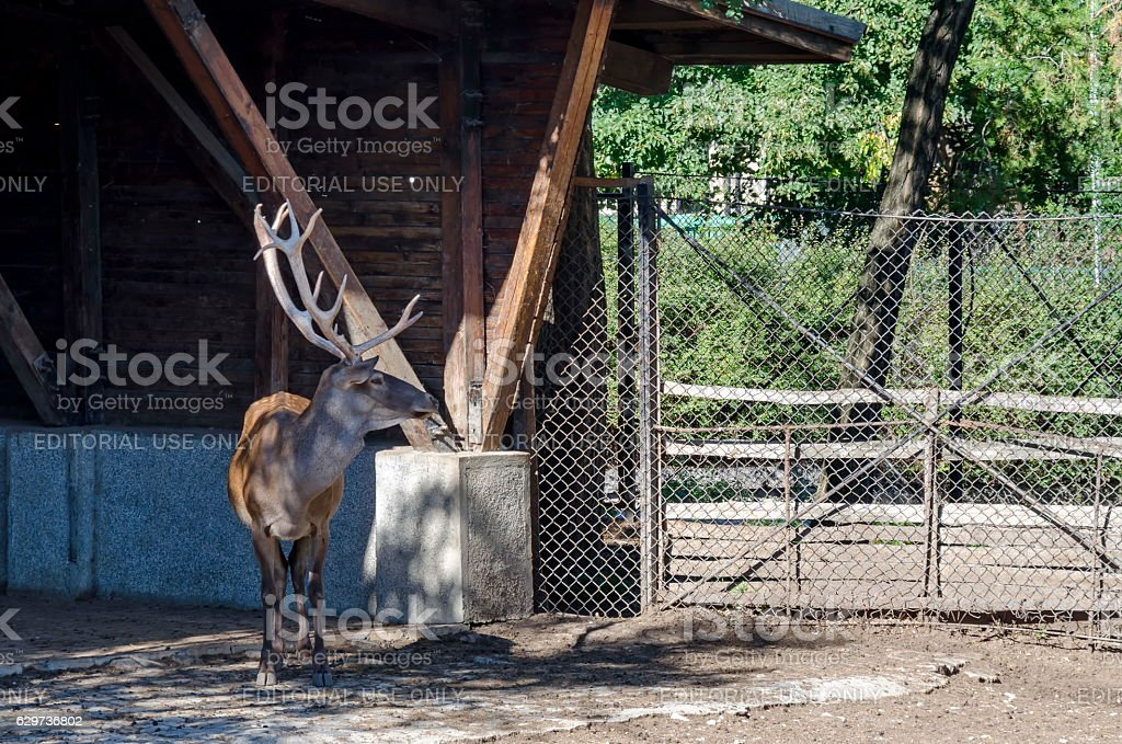 Caribou,  reindeer or Rangifer in watching in front alcove stock photo