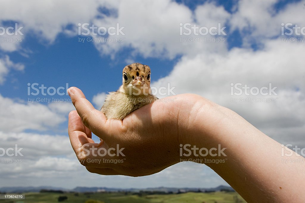 Caring for a Chick royalty-free stock photo