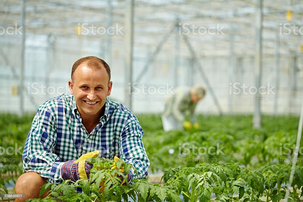 Caring for tomato plants stock photo