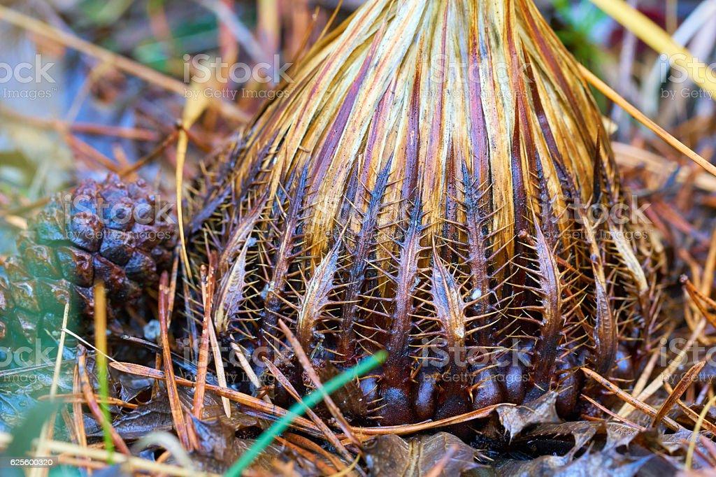 Carlina acanthifolia flower detail stock photo