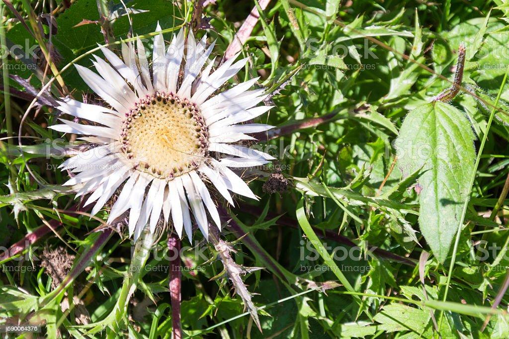 Carlina acaulis , Asteraceae stock photo