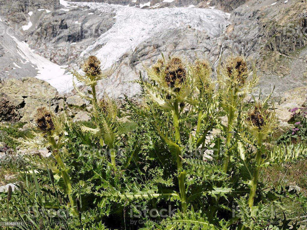 carlina in front of glacier royalty-free stock photo