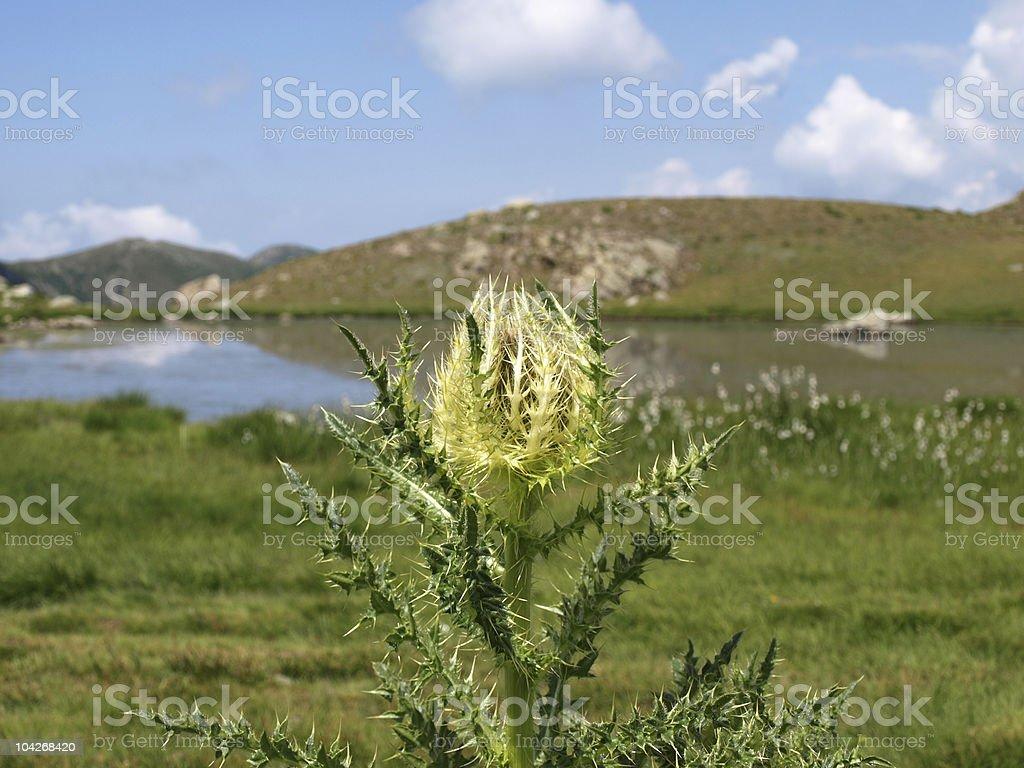 carline thistle (carlina acaulis) stock photo