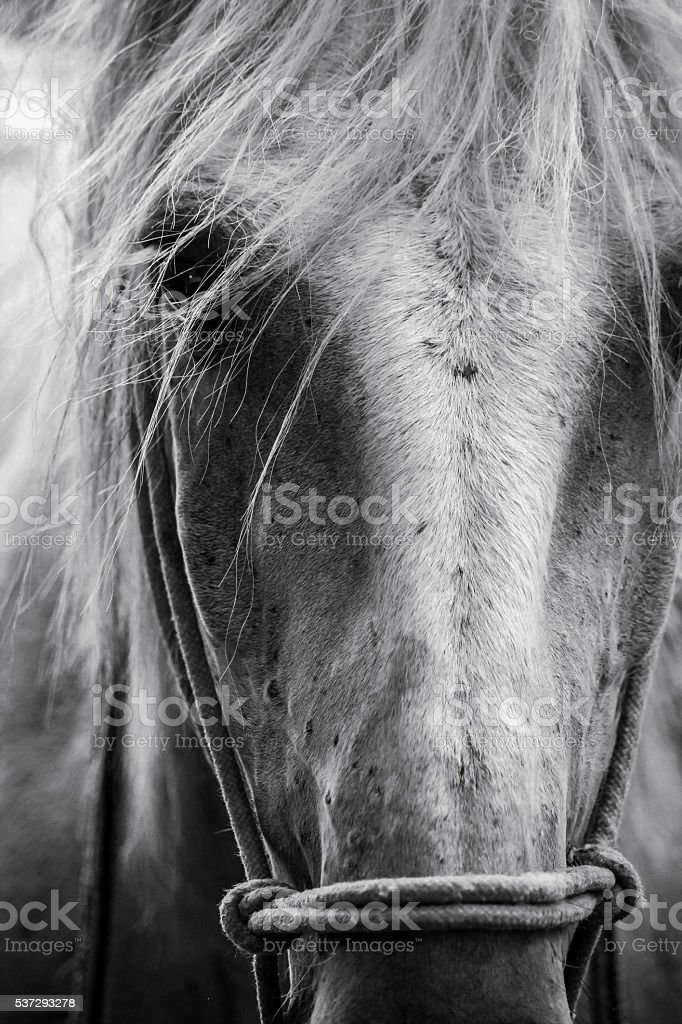 Carmargue Horse stock photo