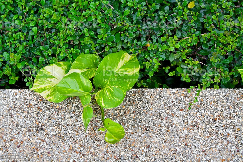 Carmona retusa (Vahl) Masam plant, Scindapsus aureus plant and cobblestone floor stock photo