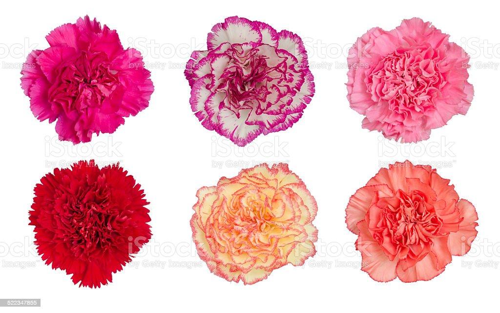 carnation flower isolated on white background stock photo