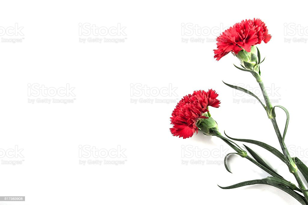 Carnation flower on isolated stock photo