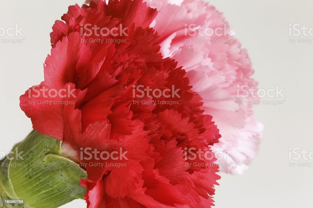 Carnation Flowers stock photo