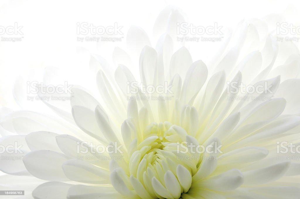 Carnation on White stock photo