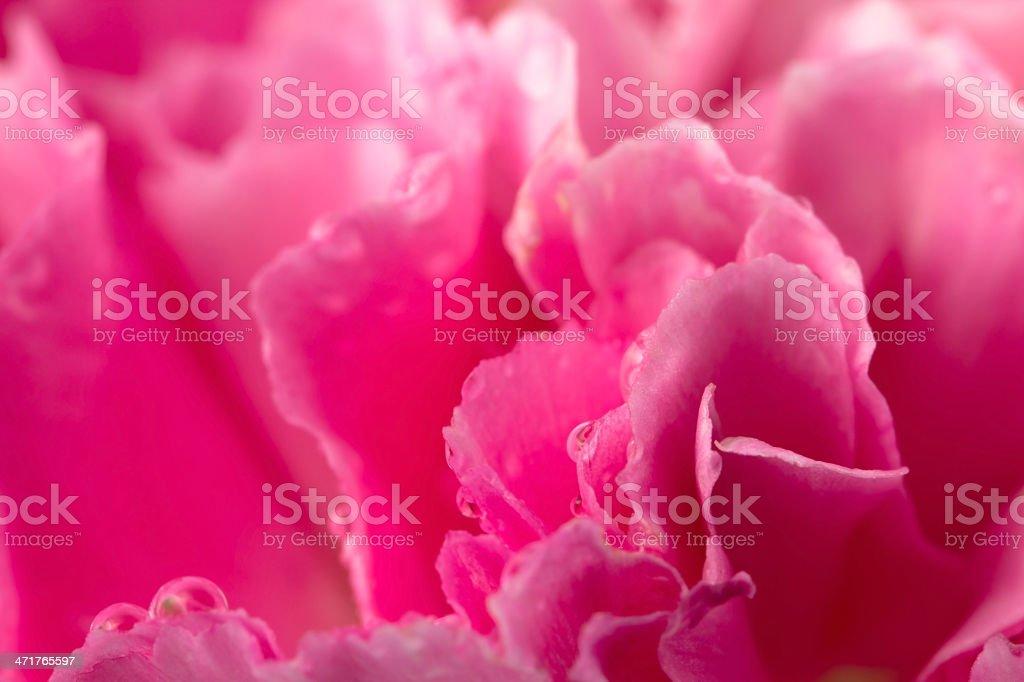 Carnation petal royalty-free stock photo