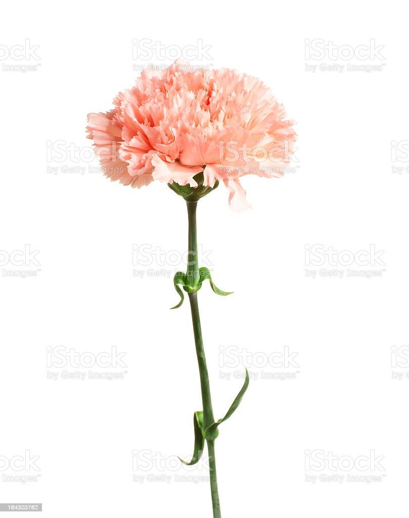 Carnation. stock photo