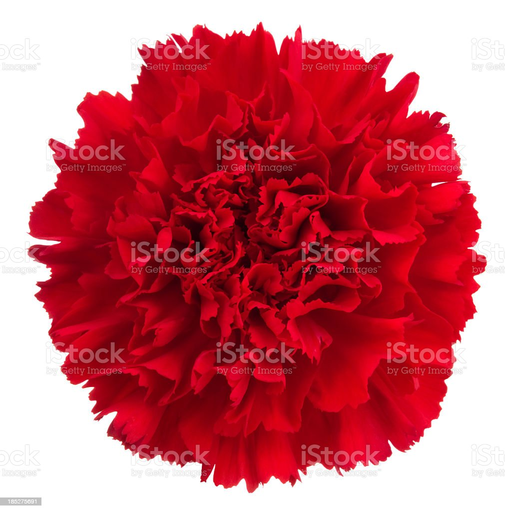 Carnation. royalty-free stock photo