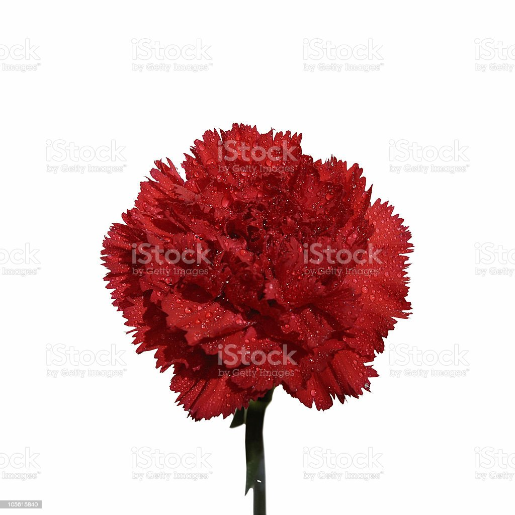 Carnation red flower macro isolated on white royalty-free stock photo