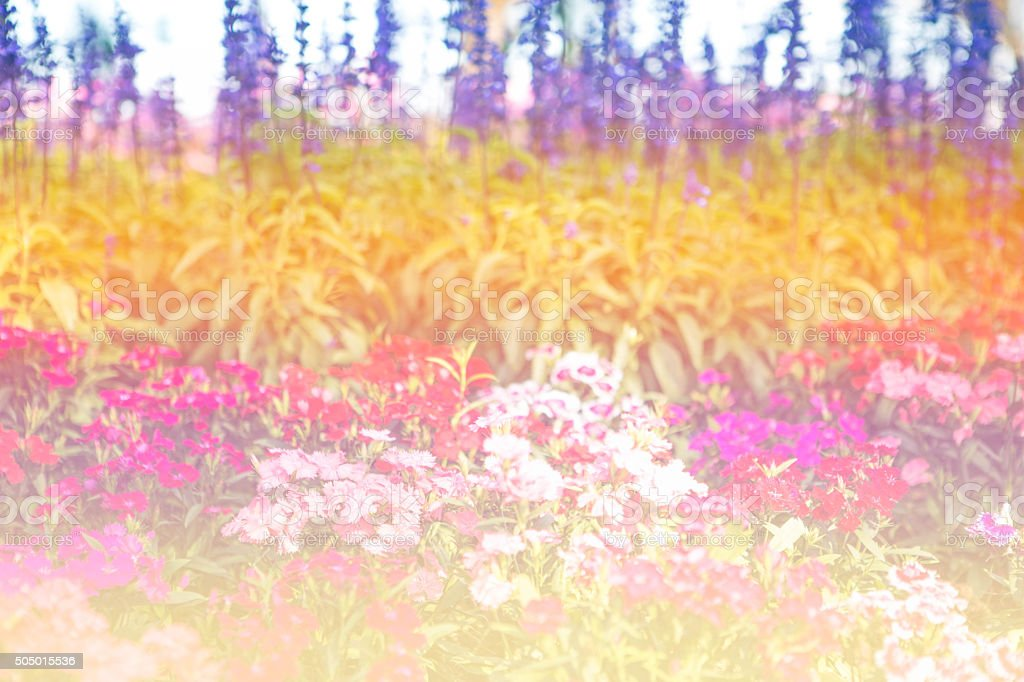 Carnations Field stock photo