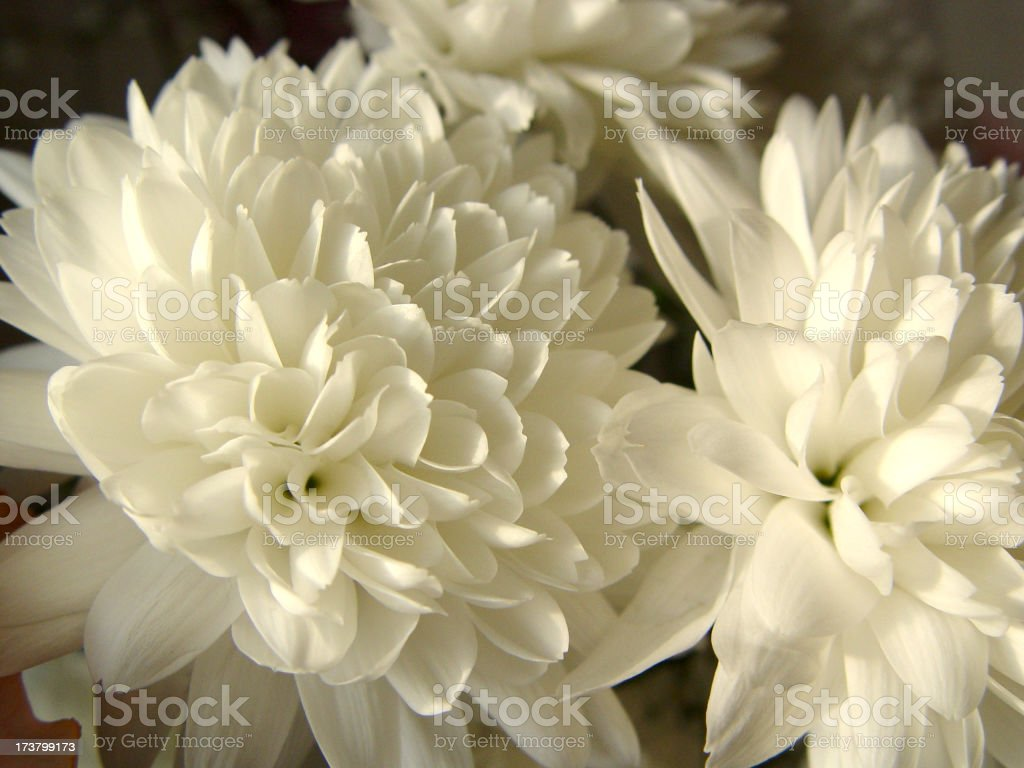 Carnations Flowers royalty-free stock photo