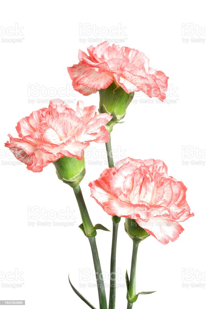 Carnations. stock photo