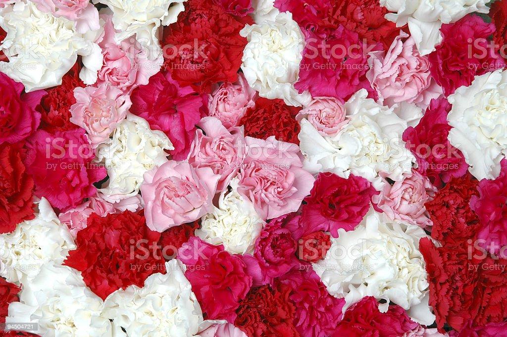 Carnations royalty-free stock photo