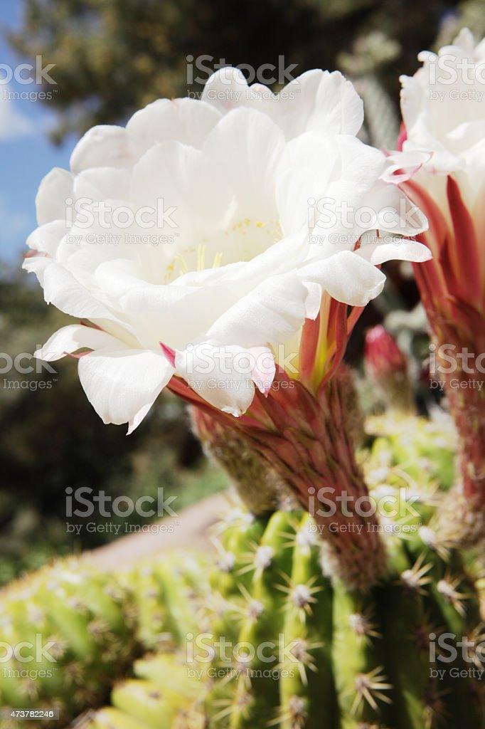 Carnegiea gigantea Saguaro Cactus Flower Blossom stock photo