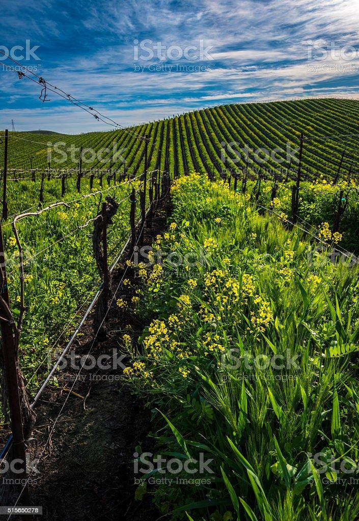 Carneros Mustard Bloom stock photo