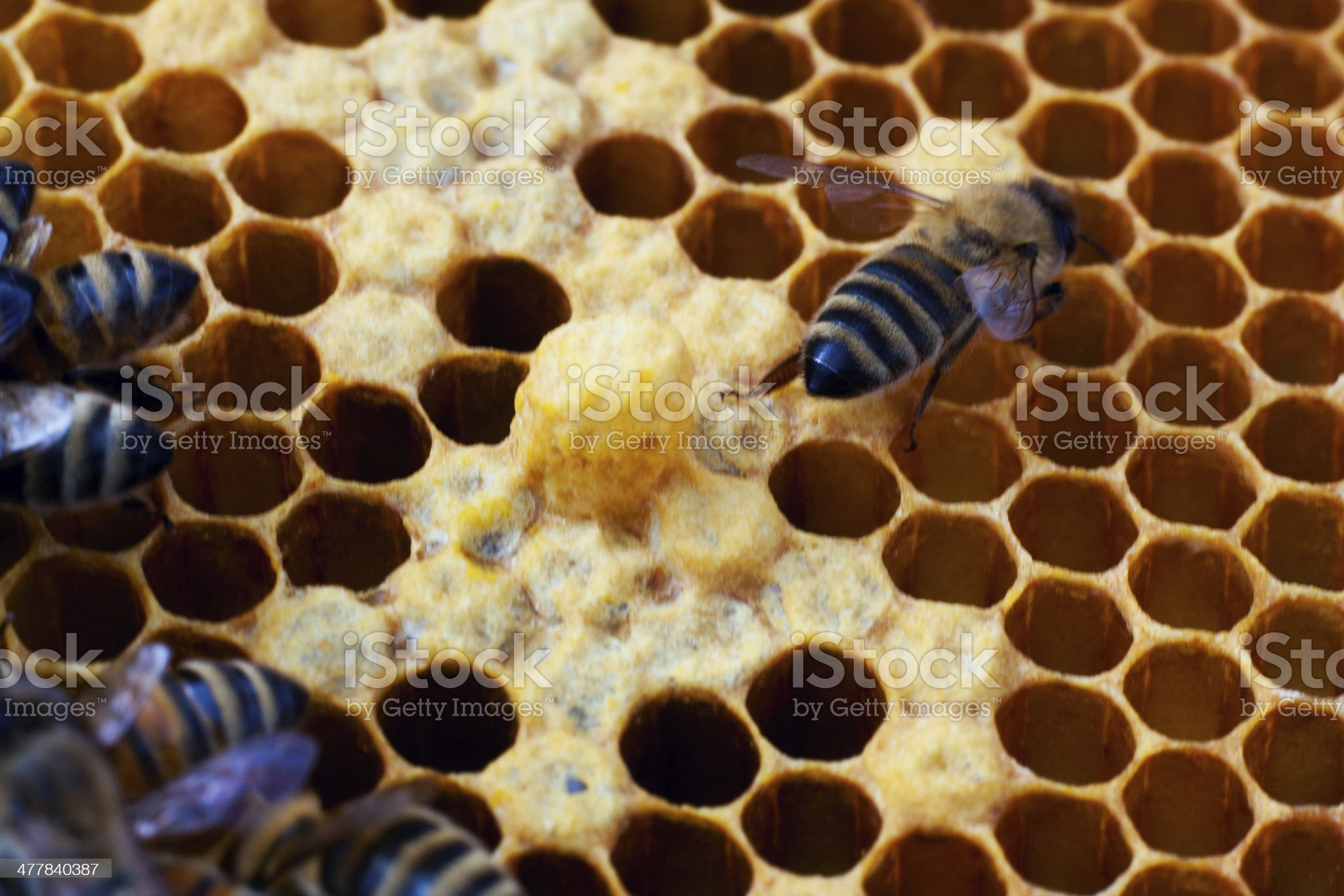 Carniolan Bees Tending Drone Cell royalty-free stock photo