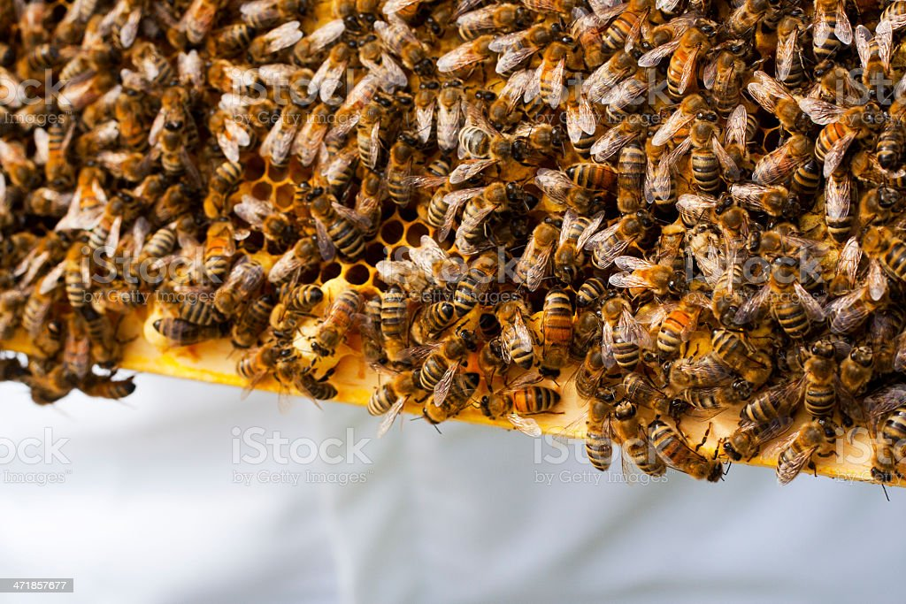 Carniolan Bees Tending Drone Cells royalty-free stock photo