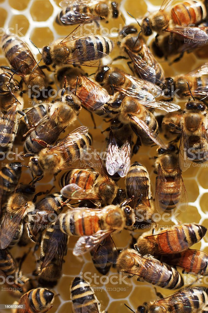 Carniolan Honey Bees on Comb royalty-free stock photo