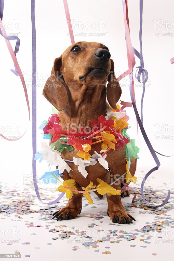 Carnival dog party royalty-free stock photo