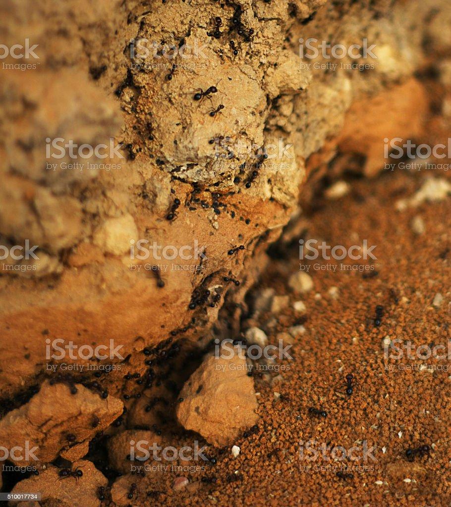 Carnivore Ants (Macro) stock photo