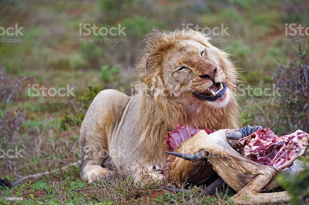 Carnivore Delight royalty-free stock photo
