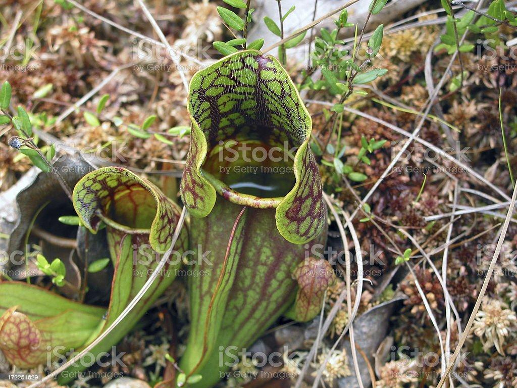 Carnivorous plants awaiting their meal. Sarracenia purpurea stock photo