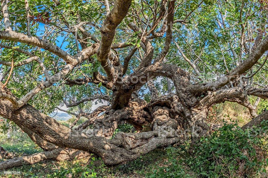 Carob tree treetop stock photo