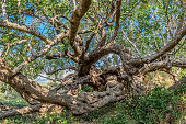 Carob tree treetop