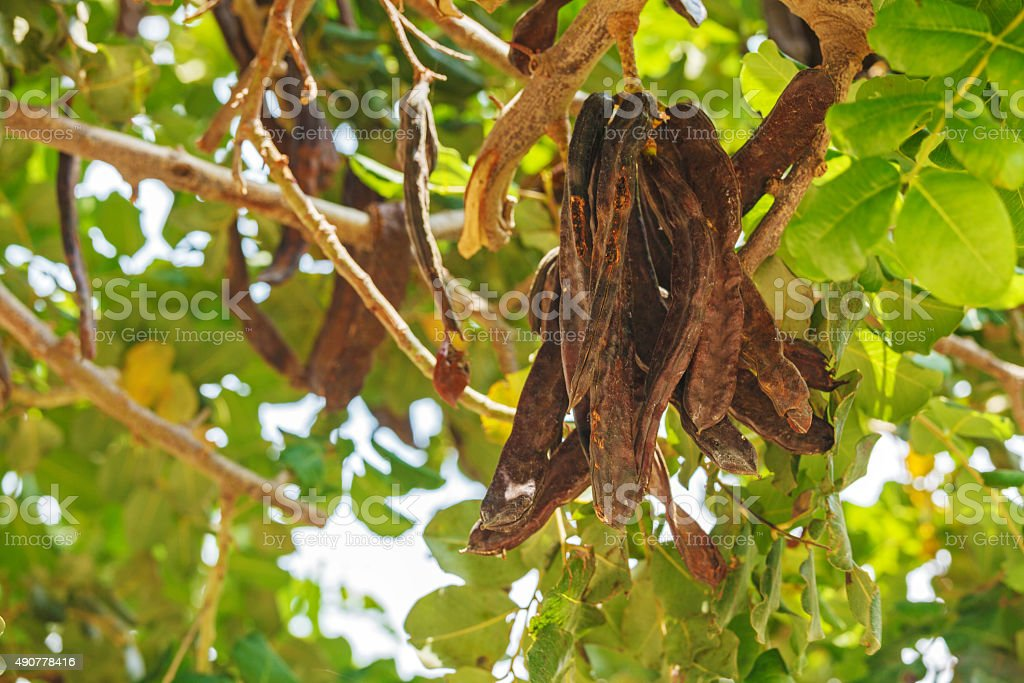Carob Tree with Fresh Leaves stock photo