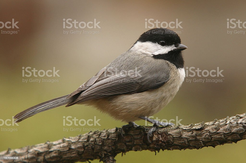 Carolina Chickadee royalty-free stock photo