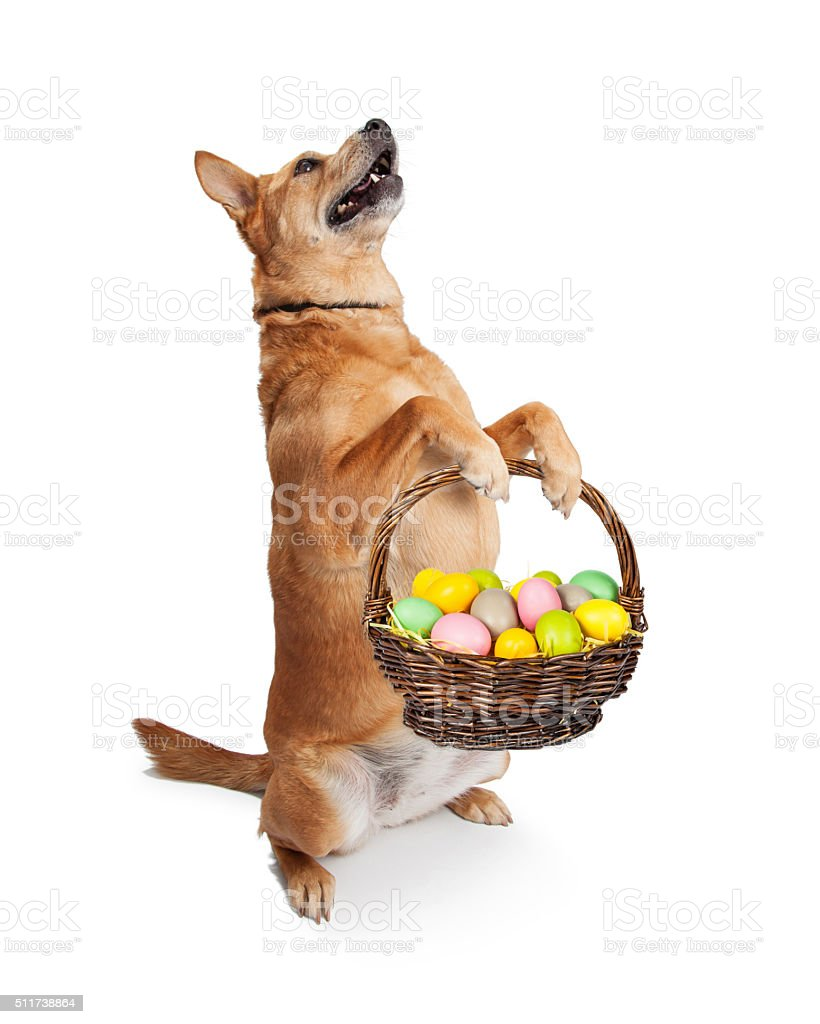 Carolina Dog Carrying Easter Basket stock photo
