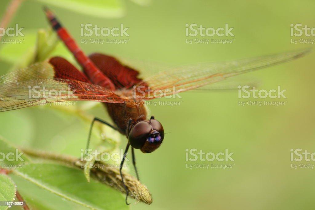 Carolina red saddlebags dragonfly stock photo
