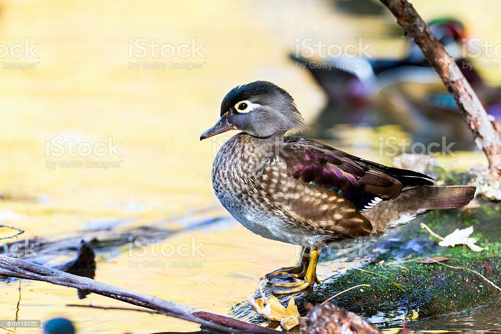 Carolina Wood Duck Male. stock photo